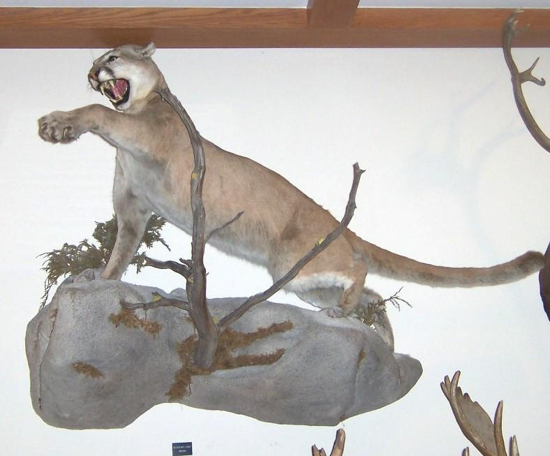 Lashing Mountain Lion