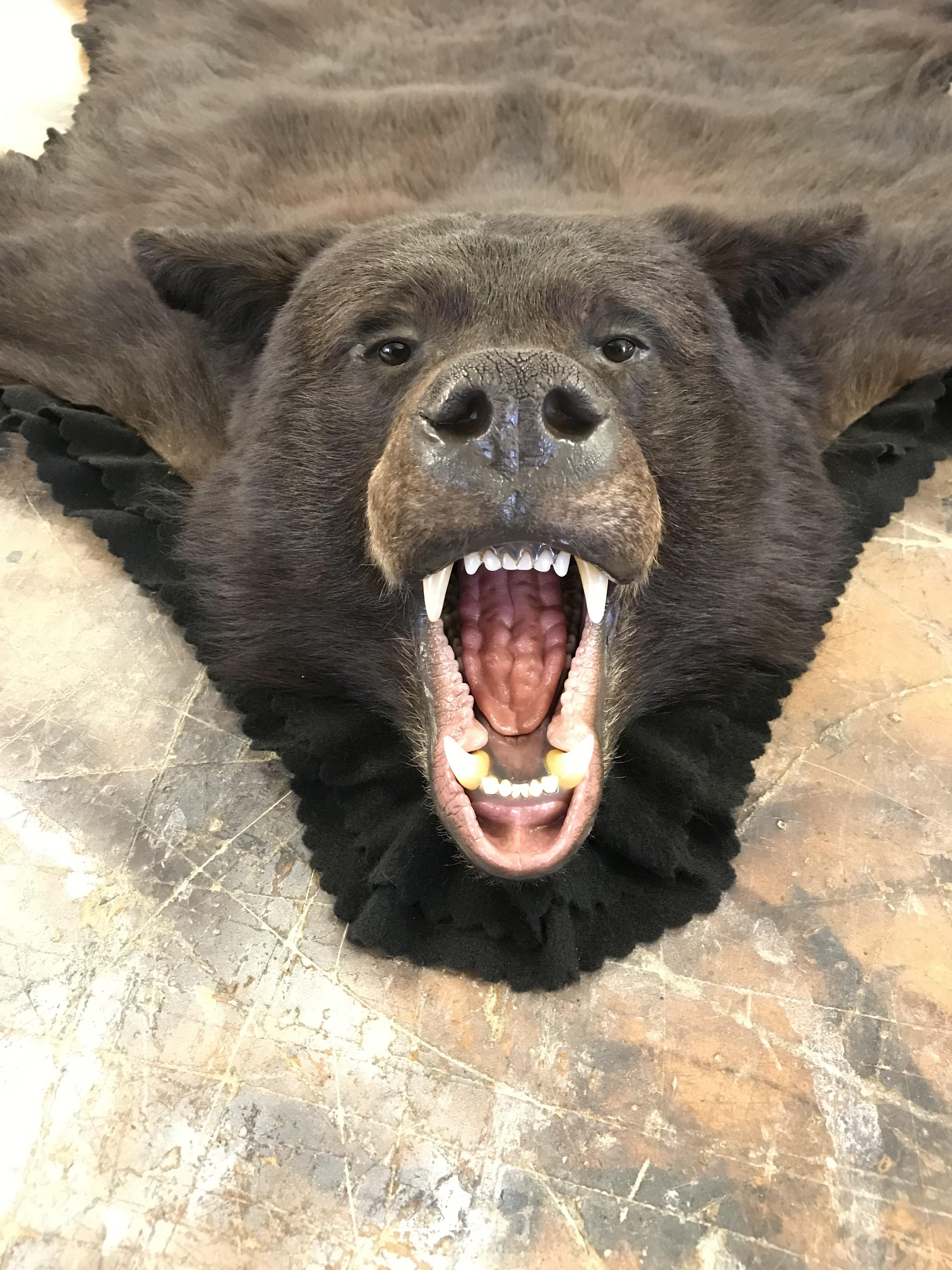 Atcheson Taxidermy Bear Skin Rug